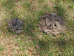 Moles causing problems in a yard