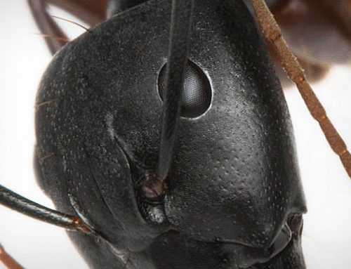 When Are Carpenter Ants Active?