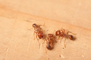 Red Ants vs. Black Ants: What's the Difference? | All Pest Control