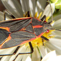 Portland Pest Control for Boxelder Bugs