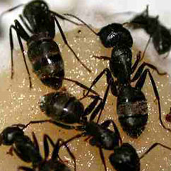 Portland Pest Control for Carpenter Ants