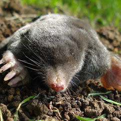 Portland Pest Control for Moles