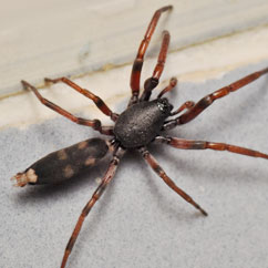 Portland Pest Control for Tailed Spiders