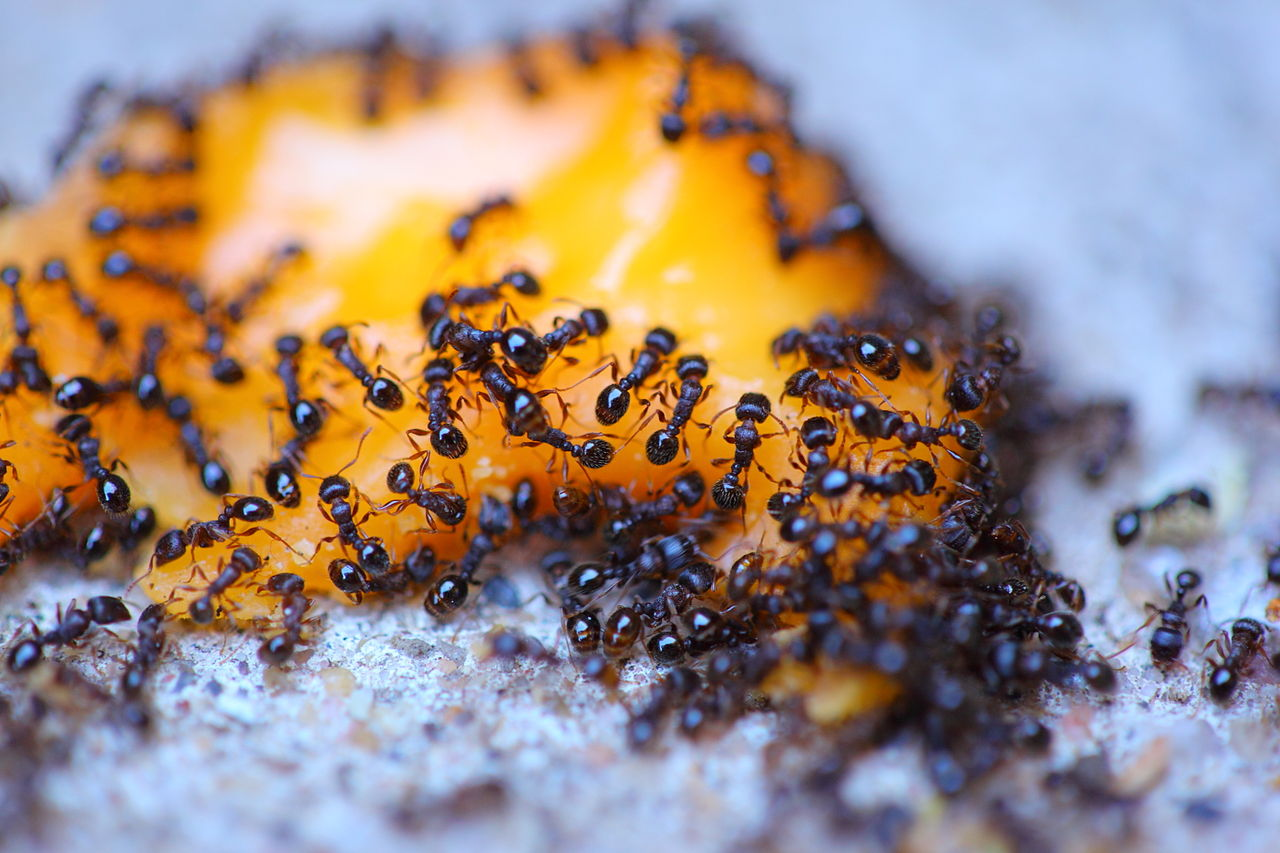 Locating an Entry Point of a Sugar Ant Infestation