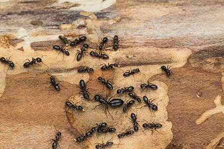 carpenter-ant-infestation
