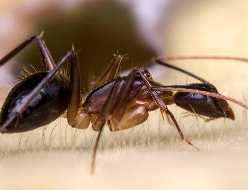 Early Signs of Carpenter Ant Infestation