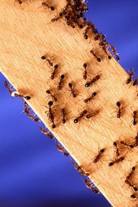 carpenter-ants-on-wood