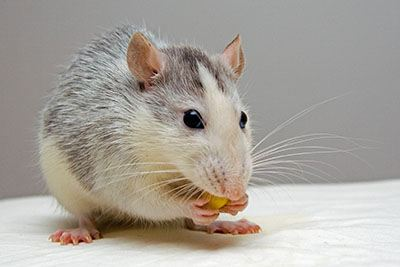 mouse-eating