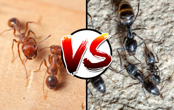 Red ant vs. black ants – what's the difference?