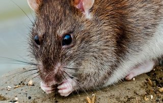 Pest and Rodent Control in Portland for Mice
