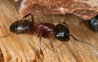 Carpenter Ant Removal and Extermination in Portland