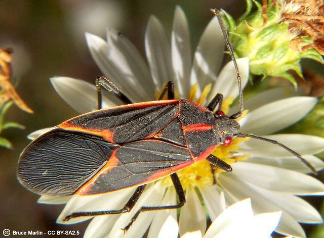 Box_elder_bug