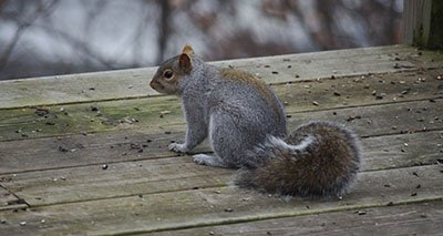 Squirrel on a Deck