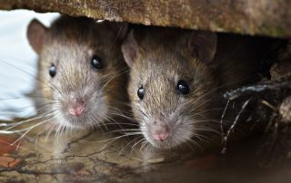 How to Get Rid of Rats Under the House