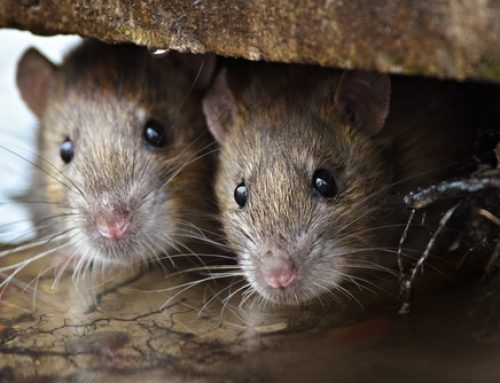 How to Get Rid of Rats Under the House?