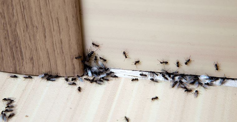 ants-in-floorboards