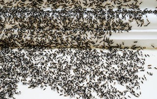 How Do You Stop an Ant Infestation?
