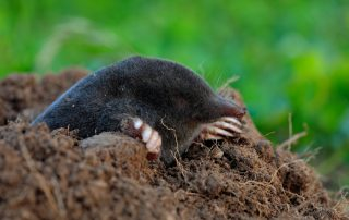 get rid of moles in yard