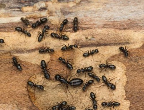 Can Exterminators Get Rid of Ants?