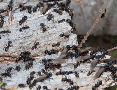 Do You Need an Exterminator for Carpenter Ants?